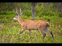 Marsh Deer image