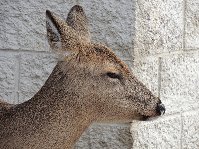 Deer  -  White-tailed Deer