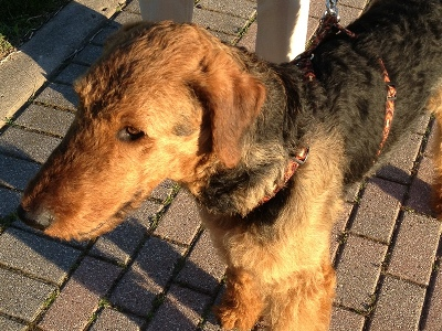 Dog  -  Airedale Terrier
