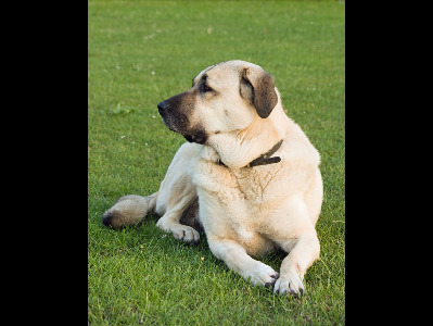 Dog  -  Anatolian Shepherd Dog