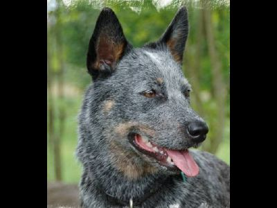 Dog  -  Australian Cattle Dog