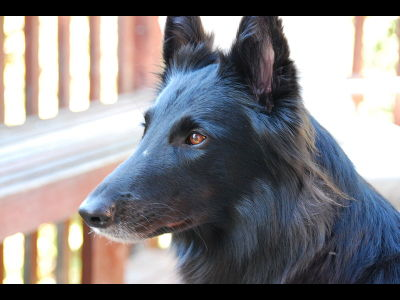Dog  -  Belgian Sheepdog