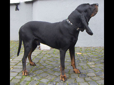 Dog  -  Black and Tan Coonhound