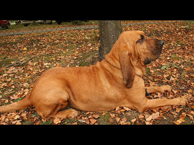 Dog  -  Bloodhound