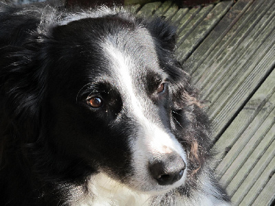 Dog  -  Border Collie