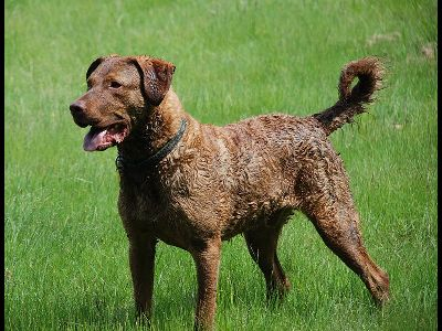Dog  -  Chesapeake Bay Retriever