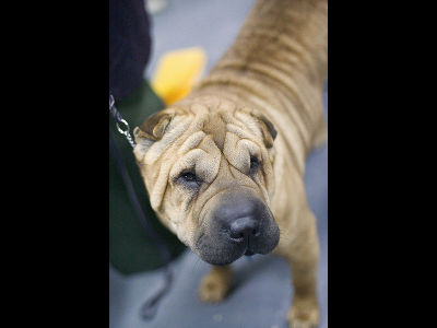 Dog  -  Chinese Shar Pei