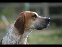 English Foxhound image