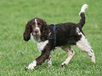 English Springer Spaniel image