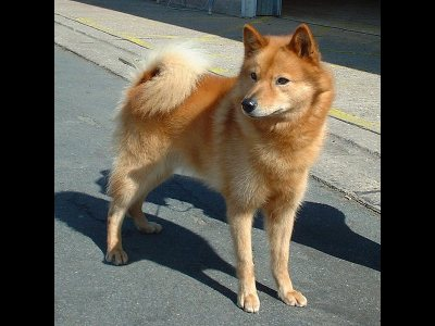Dog  -  Finnish Spitz