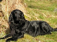 Flat-Coated Retriever image