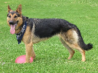 German Shepherd Dog image