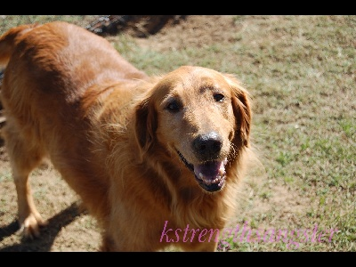 dog/dog_Golden_Retriever