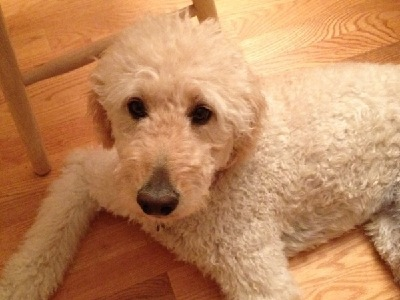 Dog  -  Goldendoodle