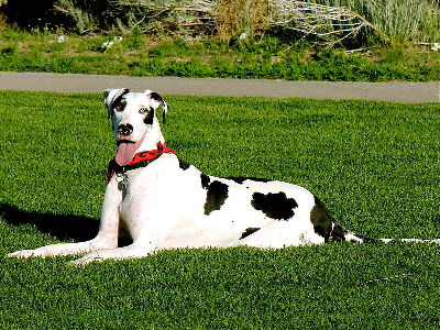 Dog  -  Great Dane