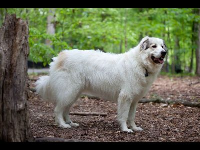 Dog  -  Great Pyrenees