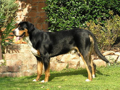 Dog  -  Greater Swiss Mountain Dog