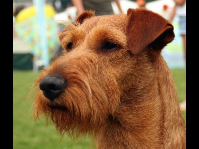 Dog  -  Irish Terrier