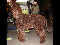 Irish Water Spaniel image