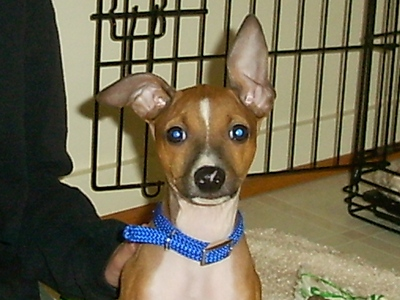 Dog  -  Italian Greyhound