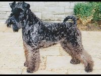 Kerry Blue Terrier image