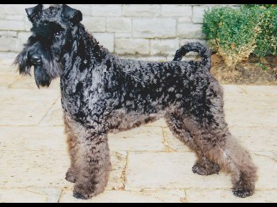 Dog  -  Kerry Blue Terrier