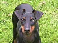 Manchester Terrier image