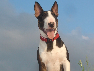 Dog  -  Miniature Bull Terrier