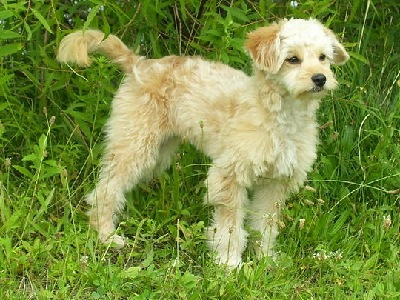 Dog  -  Miniature Goldendoodle
