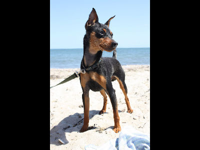 Dog  -  Miniature Pinscher