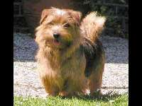 Norfolk Terrier image