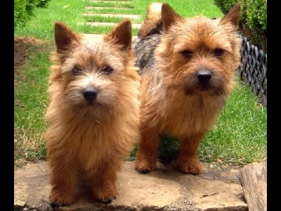 Dog  -  Norwich Terrier
