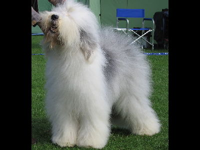 Dog  -  Old English Sheepdog