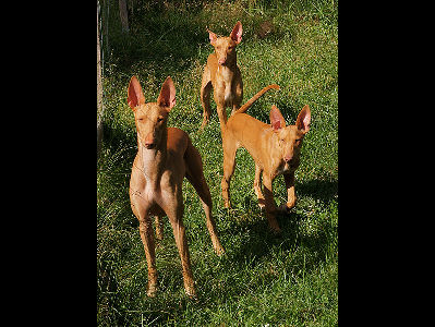 Dog  -  Pharaoh Hound