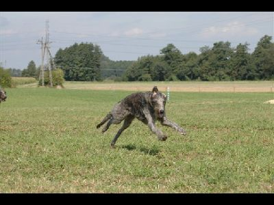 Dog  -  Scottish Deerhound