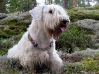 Sealyham Terrier image