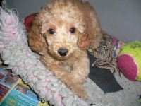 Toy Poodle image