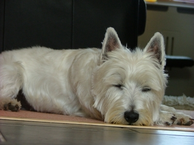Dog  -  West Highland White Terrier