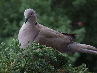 Eurasian Collared-Dove image