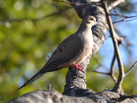 Mourning Dove image