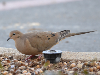 dove/dove_Mourning_Dove