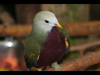 Wompoo Fruit Dove image