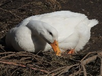Domestic Duck image