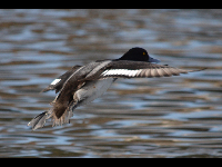 Greater Scaup image