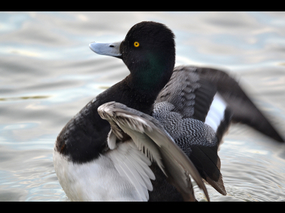 Duck  -  Greater Scaup
