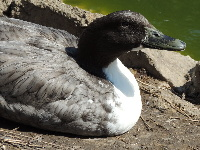 Northern Pintail Duck image