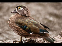 Wood Duck image