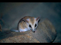 Fat-Tailed Dunnart image