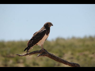 Eagle  -  Black-chested Snake Eagle