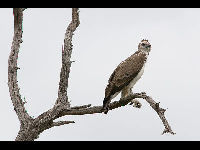 Martial Eagle image